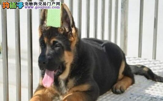 热销多只优秀的西安纯种德国牧羊犬幼犬微信咨询看狗狗视频4
