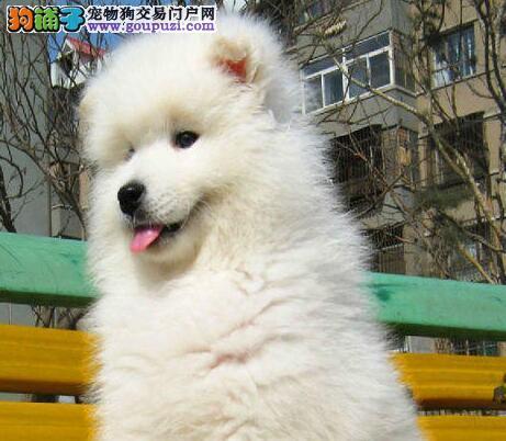 出售高端萨摩耶、纯正血统完善服务、微信咨询看狗