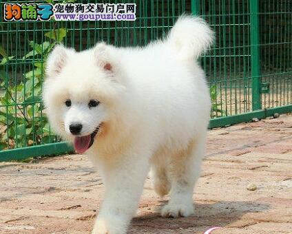 厦门狗场低价出售雪白的萨摩耶 1~3窝幼犬任君选择