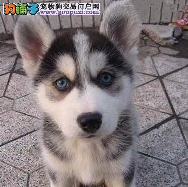 纯种蓝眼三火小哈士奇幼犬找新家 西安市内免费送货