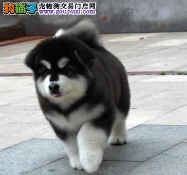 狗舍促销纯种阿拉斯加雪橇犬中山地区购犬有礼品