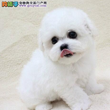纯白比熊犬幼犬出售 卷毛比熊犬小狗 聪明可爱 欢迎挑选