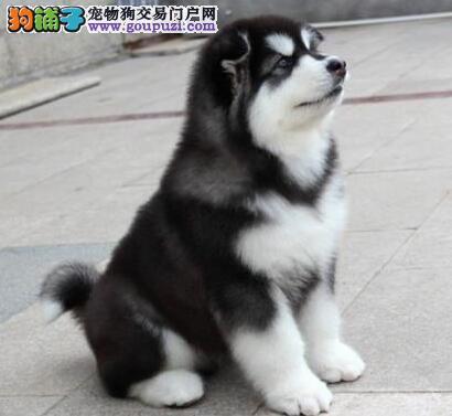 昆明知名犬舍出售健康品质的阿拉斯加犬 狗贩子请绕行