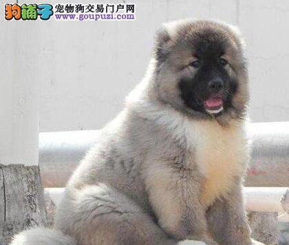 西安犬舍出售纯种高加索幼犬 凶猛毛量足售后好