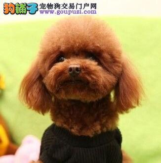 出售纯种玩具贵宾犬幼犬公母都有包健康欢迎上门挑选