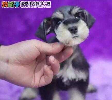 北京纯种雪纳瑞幼犬  赛级血统、证书齐全  先来先选