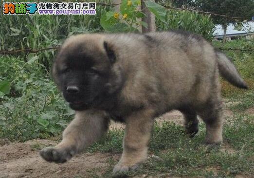 出售狼青色熊版的南昌高加索犬 可随时上门选购