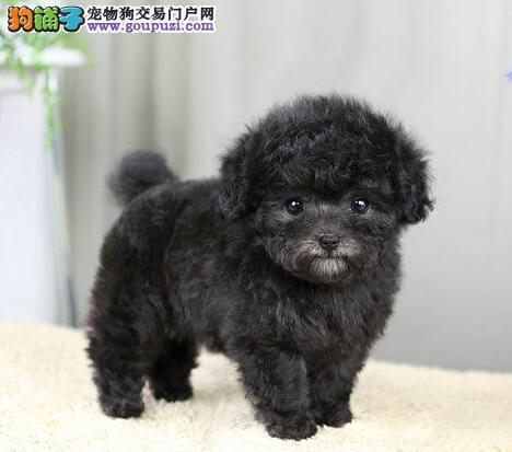 正规犬舍出售精品可爱贵宾犬 深圳周免可免邮费可货运