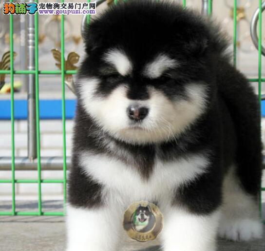 出售十字脸好品相的南昌阿拉斯加犬 保障完美品相