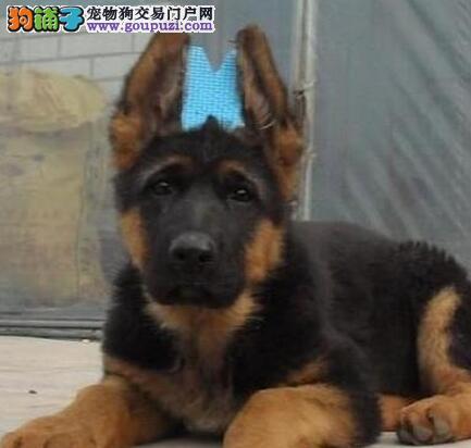 南昌大型养殖基地直销血统纯正的德国牧羊犬