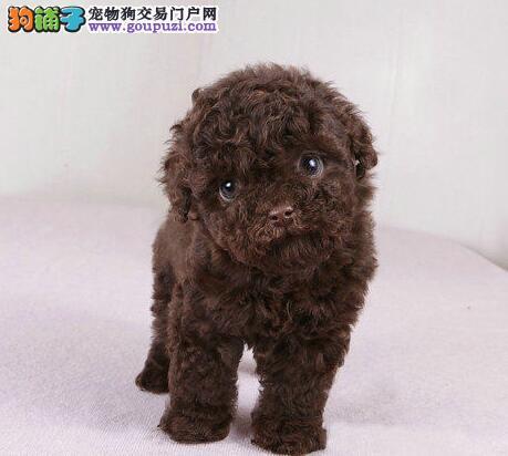 广州知名犬舍繁殖出售巨型贵宾犬 可随时上门选购爱犬