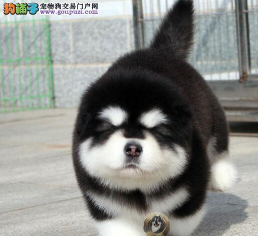 个性霸气外表巨型熊版阿拉斯加幼犬太原出售 多只挑选