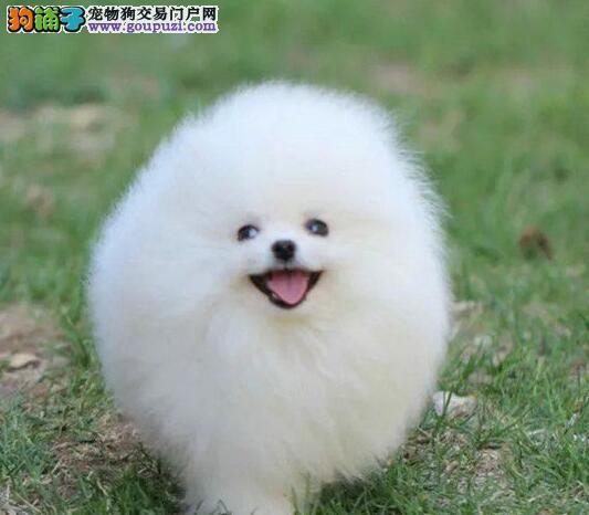 哈多利俊介血系的南昌博美犬找新家 请您放心选购