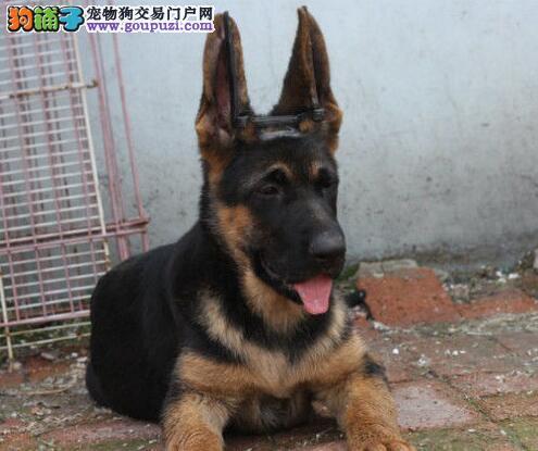 低价出售石家庄自家繁殖的德国牧羊犬 可办理血统证