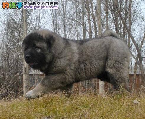 南京大型犬舍出售高加索犬 有任何问题都可以随时咨询