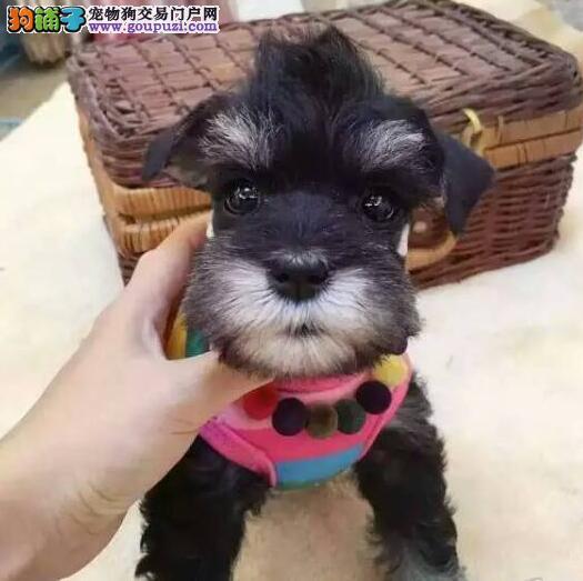 福州专业狗场直销价格出售纯种椒盐色雪纳瑞 可签协议3