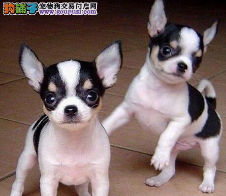 家养多只郑州吉娃娃宝宝出售中签订协议包细小犬瘟热