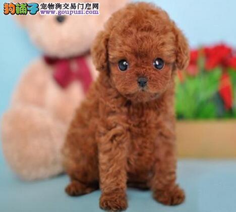 出售纯种玩具茶杯贵宾犬健康品质保证带血统证书可刷卡