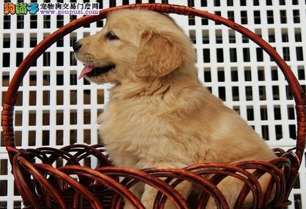 潍坊疫苗驱虫均已做好的金毛犬找新家 签订协议书