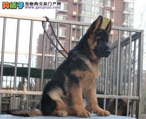 廊坊自家养殖纯种德国牧羊犬低价出售全国空运发货