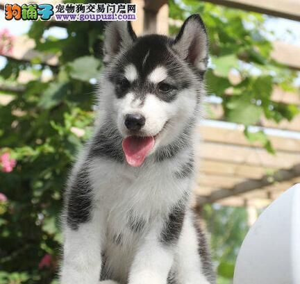 北京犬舍特价出售优质纯种哈士奇幼犬 品质高售后好图片