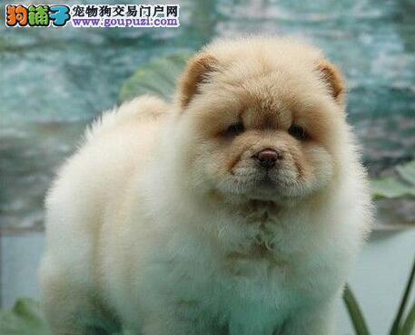 奶白色杭州松狮犬找爸爸妈妈 爱狗人士上门选购2