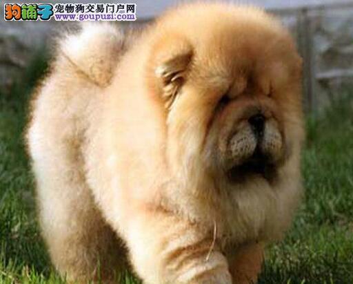 奶白色杭州松狮犬找爸爸妈妈 爱狗人士上门选购3