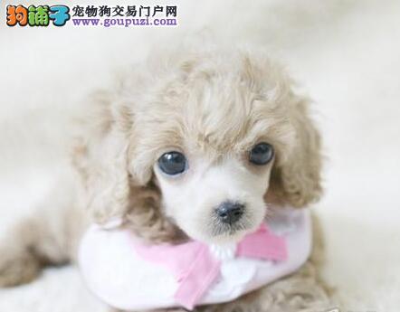 出售纯种福州贵宾犬 真正国外引进多只购买可享优惠
