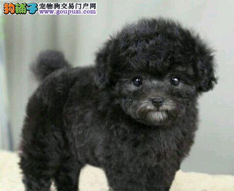 活泼可爱的精品贵阳泰迪犬找新家 爱狗人士优先选择