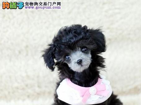 曲靖CKU认证犬舍出售高品质贵宾犬优质售后服务