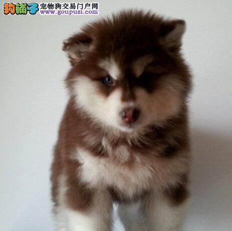 英俊十字脸的阿拉斯加犬优惠出售 贵阳市内可送货3