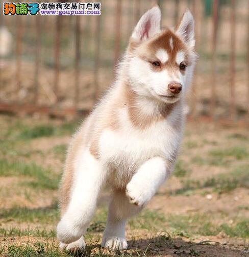 西安犬场直销黑白色灰色红色哈士奇犬多窝出售包养活1