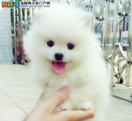 俊介血系的南宁博美犬今日特价出售 大家速来选购吧