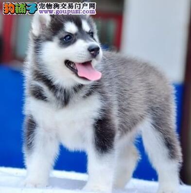 纯种哈士奇幼犬出售 双血统三把火哈士奇犬 可视频选狗