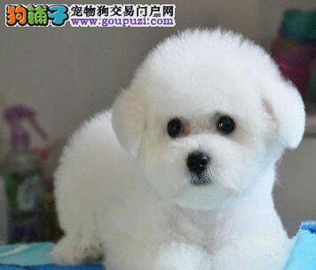 CKU犬业协会联保犬舍双冠血统比熊犬终身售后三包保证