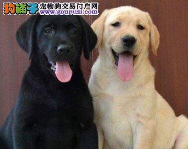 养殖场直销高品质济南拉布拉多犬品相好疫苗齐全