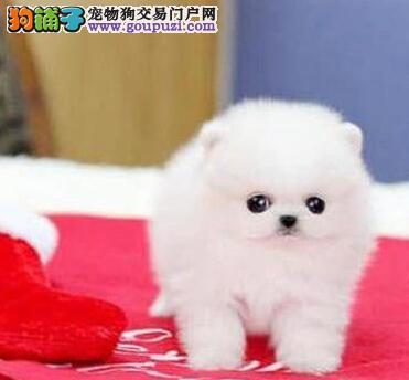 大型实体店热销哈多利杭州博美犬售后有保障3