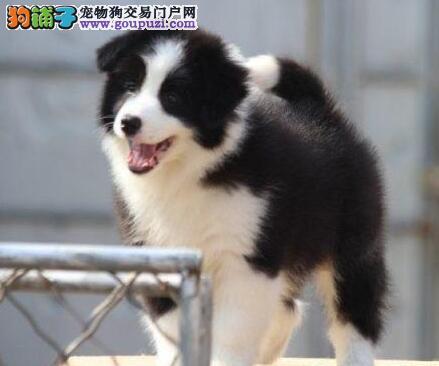 重庆出售世界上最聪明的边境牧羊犬保健康包纯种