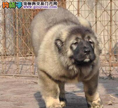 原生态熊版血系的高加索犬找新主人 仅限广州朋友选购