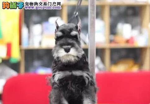 深圳犬舍直销精品雪纳瑞犬签协议包养活三个月可退换