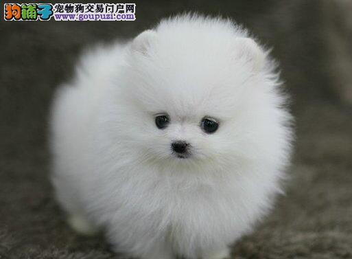 出售纯种哈多利版博美犬 欢迎来长沙狗场实地考察