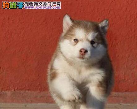 给阿拉斯加雪橇犬亲手做个美容吧