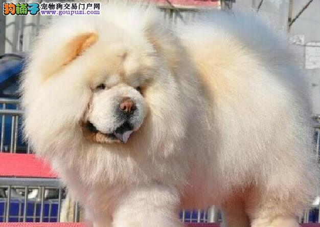 自家狗场繁殖松狮犬出售 品质健康有保障 可刷卡签协议图片