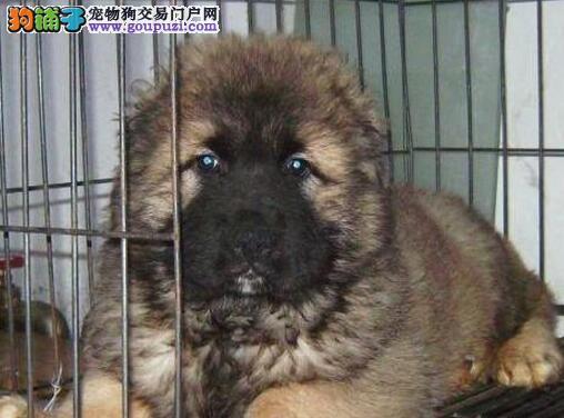 福建最大高加索犬养殖场 正规信誉狗场首选索菲犬舍