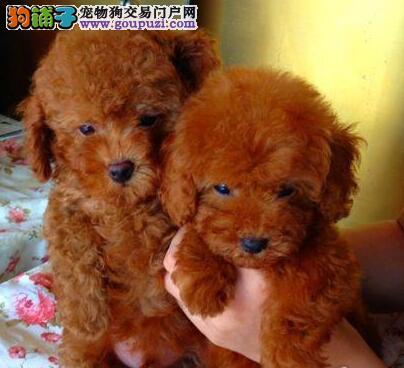 颜色齐全的巨型贵宾犬超低价出售 南京市内免费送货