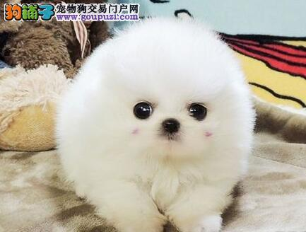 直销出售哈多利版纯种南京博美犬 可办理血统证书