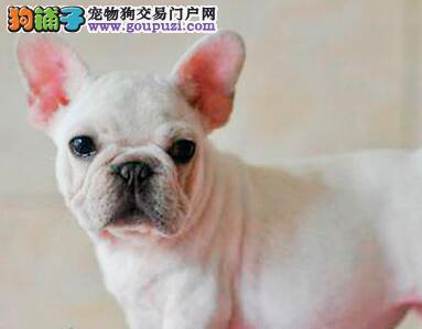 精品纯种广东法国斗牛犬出售质量三包质量三包完美售后