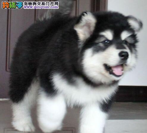哈尔滨阿拉斯加犬出售血统纯品相好骨架大阿拉斯加转让