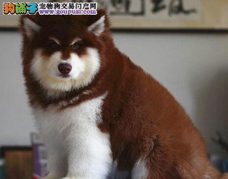 阿拉斯加雪橇犬患上了空调病需要正确的对待