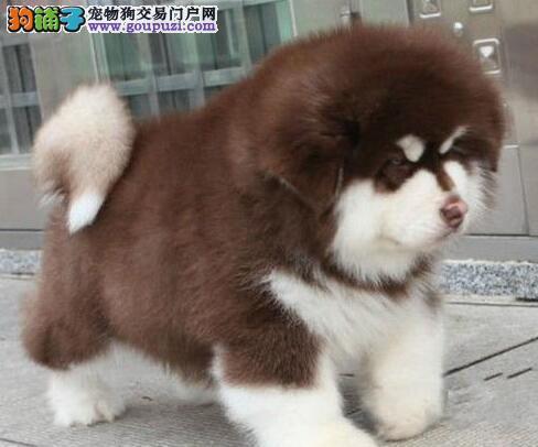 怎样才能彻底的让阿拉斯加雪橇犬远离皮肤病